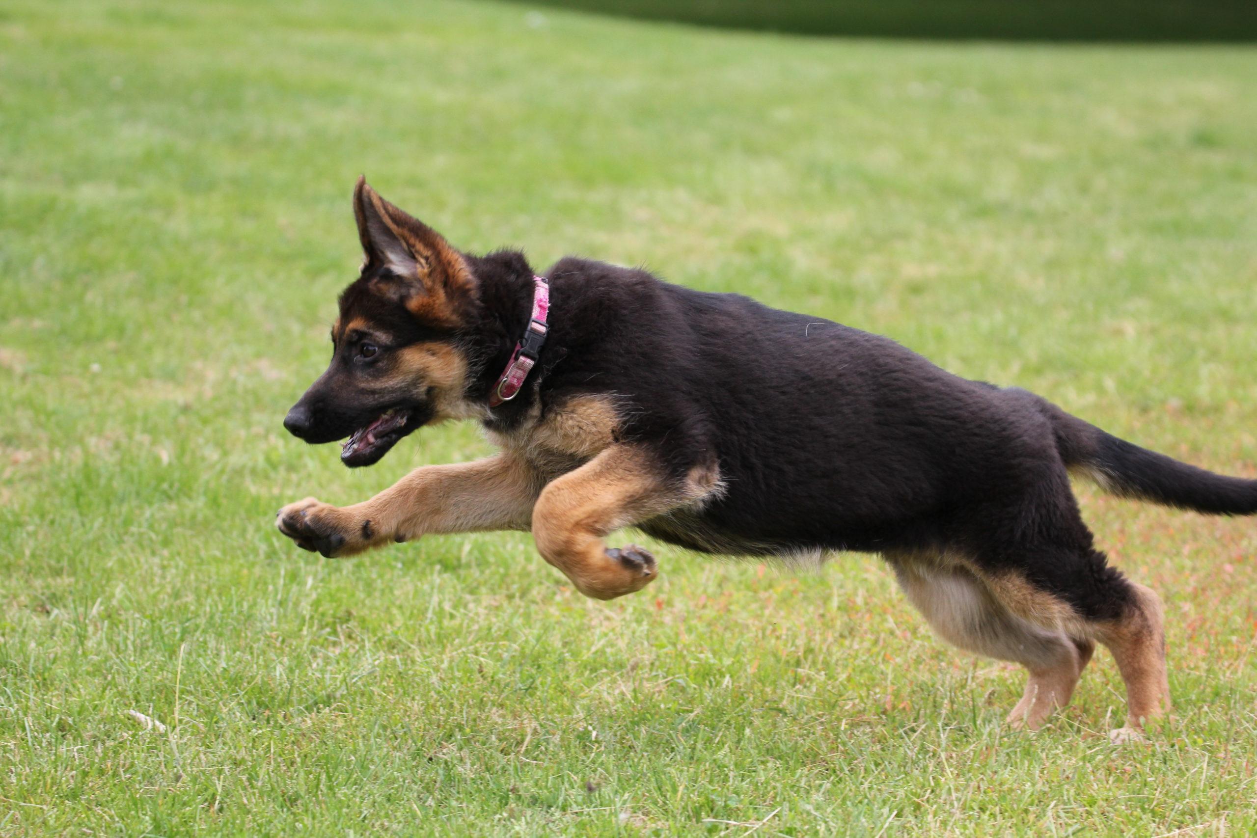 Jonge_Hond_Puberteit_honden_training_Karin_Tuinhout