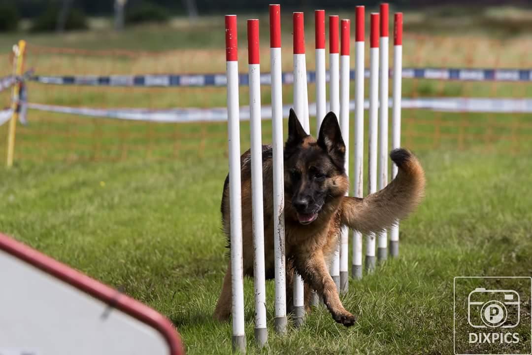 Behendigheid_training_hond_Paaltjes